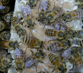 Bees | Agricultural Marketing Resource Center