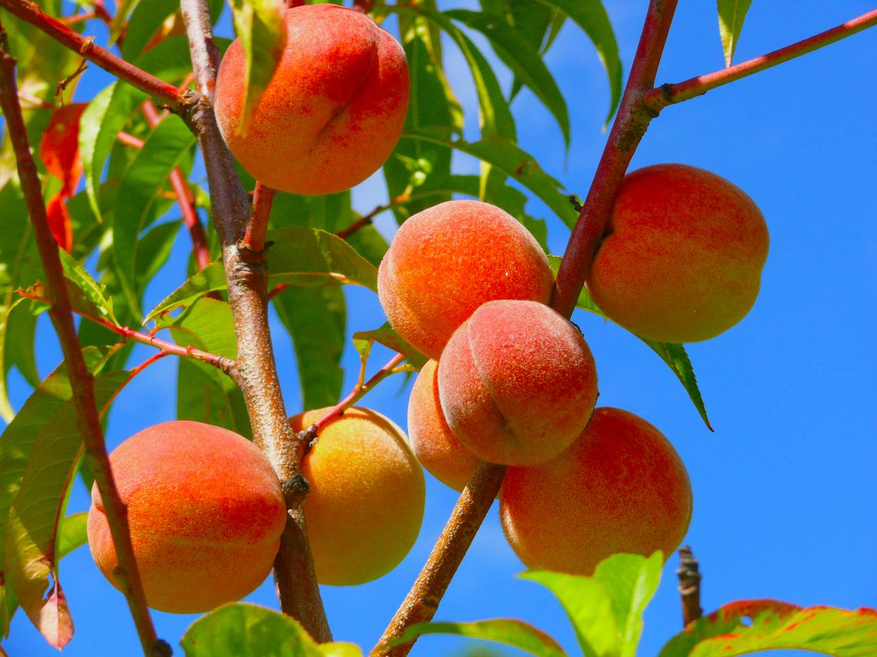 Peaches | Agricultural Marketing Resource Center