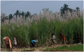 sugarcane workers during the harvest season